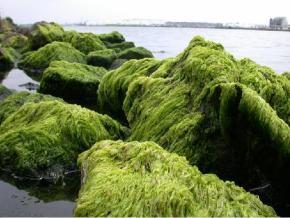 The Algae Revolution