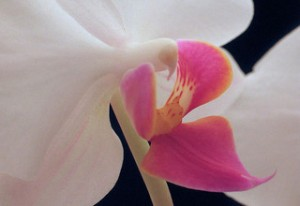 Close-up of an orchid flower