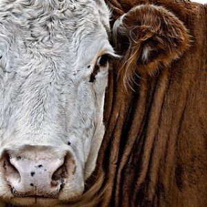 Closeup of cow face