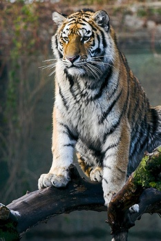 Tiger sitting on a log