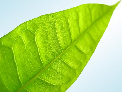 Green Sunny Leaf
