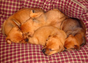 Pile of sleeping puppies
